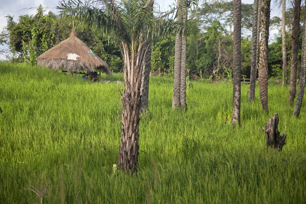 Picture of Hut and palm trees on a field on Bubaque island