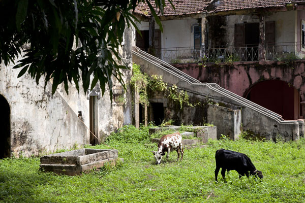 Cows roaming around one of the old houses of Bubaque | Ile Bubaque | Guinée-Bissau