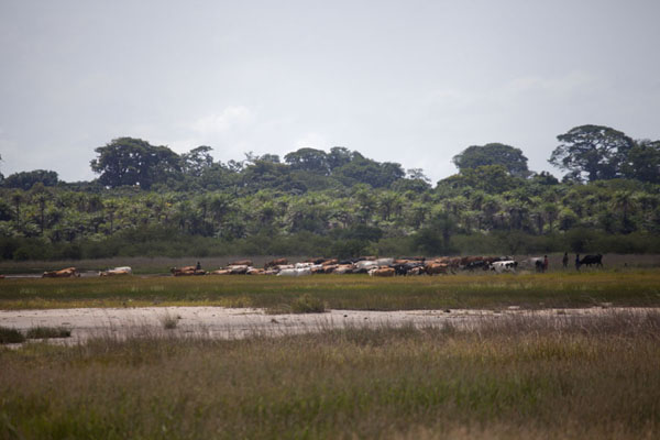 Foto di Herd of cows grazing the plains outside VarelaVarela - Guinea-Bissau