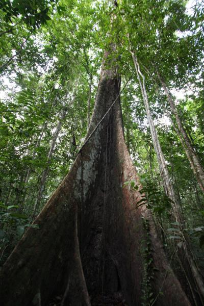 Picture of Iwokrama rainforest (Guyana): The sound of tapping on the enormous roots of this giant carries far