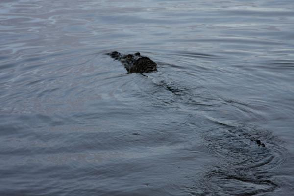 Picture of Iwokrama rainforest (Guyana): Large caiman in the Essequibo river