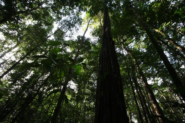 Picture of Iwokrama rainforest (Guyana): Rainforest seen from below