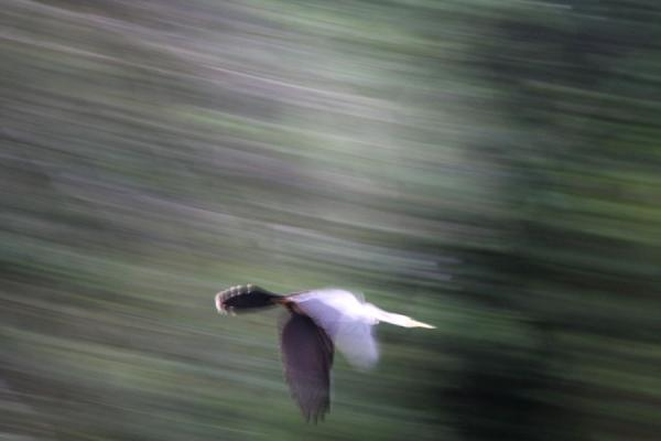 Bird taking off in the rainforest | Iwokrama rainforest | Guyana
