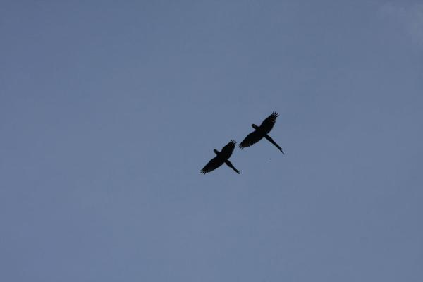 Picture of Couple of macaws flying over the iwokrama rainforestIwokrama - Guyana
