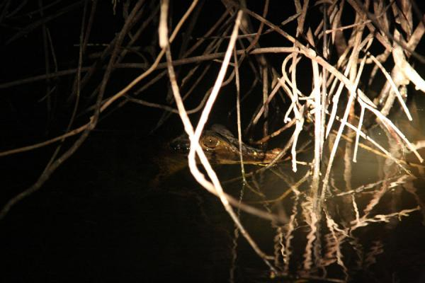 Young caiman spotted in the Essequibo river at night | Foresta pluviale Iwokrama | Guyana