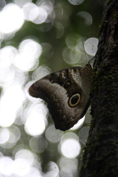 Butterfly taking a break on a tree trunk | Kaieteur overland | Guyana