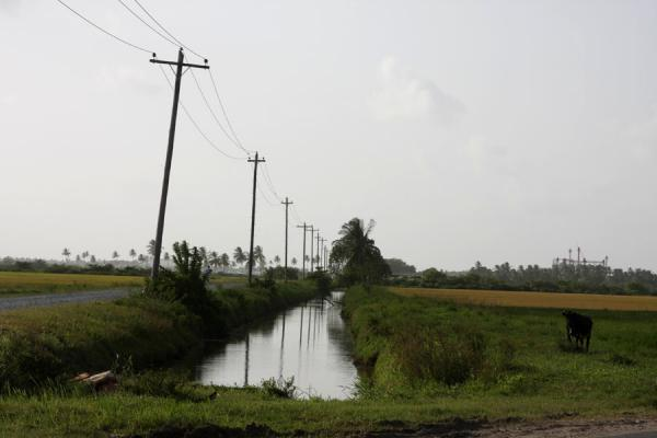 Picture of West Demerara landscape (Guyana): Cow at a canal in West Demerara