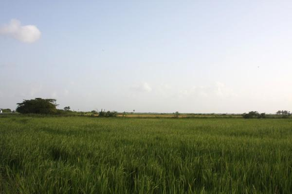 Picture of Typical landscape for the north of Guyana: flat land with rice fields