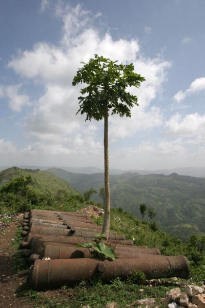 Picture of Papaya tree with cannons at the foot of Citadelle la FerrièreCitadelle La Ferrière - Haiti