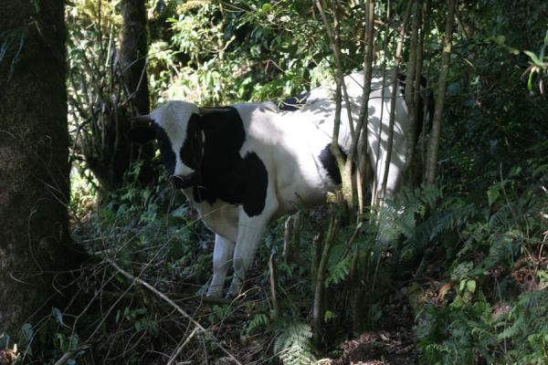 Photo de Cow in the forest: it was my first sign of being on the right trackCelaque - Honduras