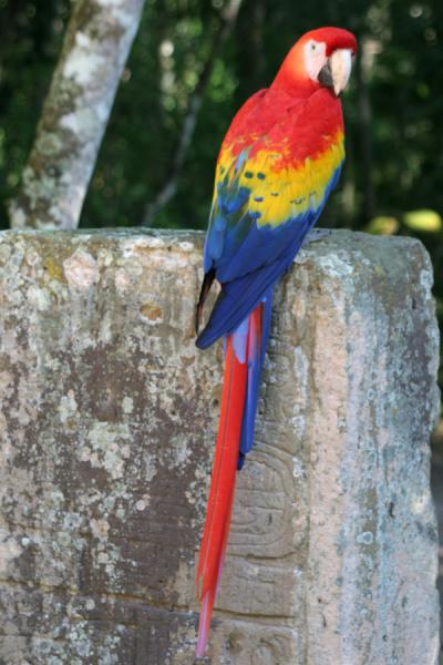 Picture of Copán: macaw giving colour to one of the stelae
