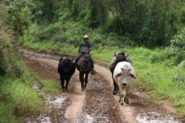 Picture of Sierra del Merendon (Honduras): On the way to San Agustín: encountering cows