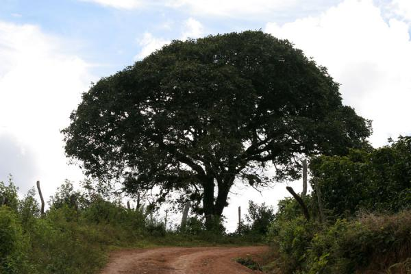 Foto de One of the impressive trees on the way to San AgustínSierra del Merendon - Honduras