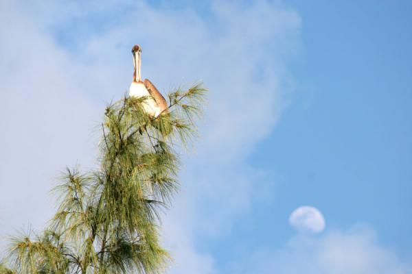 Pelican in a tree with moon in the background | Barriéres de corail de Utila | Honduras