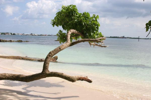 Picture of Utila: Tree over Caribbean waters - Honduras - Americas