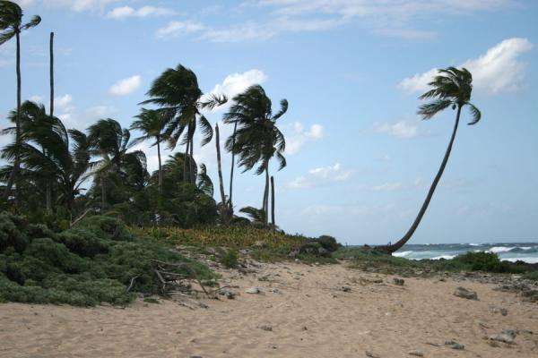 Palm trees struggling against the wind on the north coast | Utila | Honduras