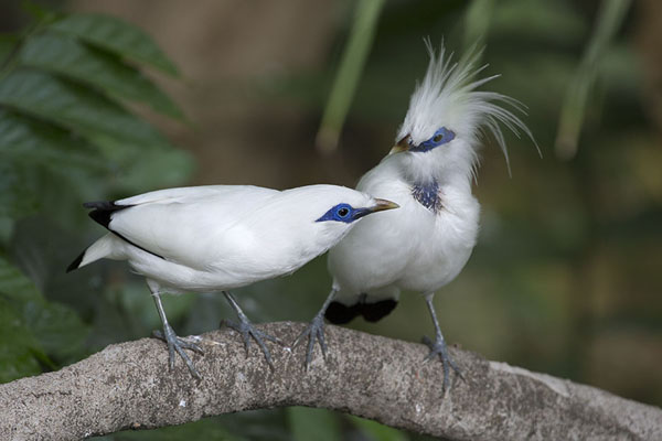 Foto van Two Bali myna on a branch in the aviaryHong Kong Park - Hong Kong