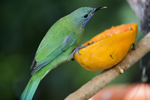 Blue-winged leafbird eating papaya in the Edward Youde aviary | Hong Kong Park | Hong Kong