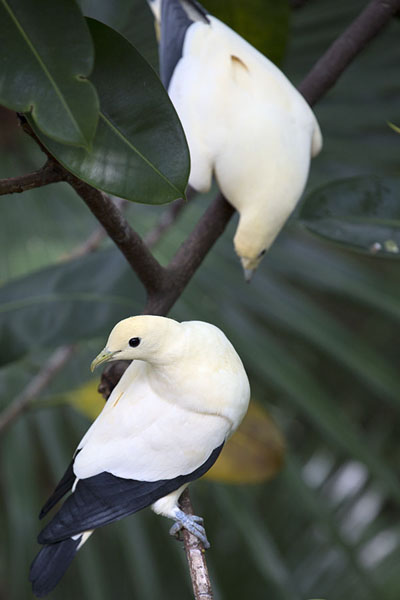 Picture of Two pied imperial pigeons in the aviary in Hong Kong park
