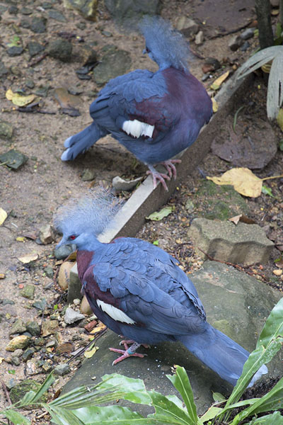 Foto van Crowned pigeons on the floor of the aviaryHong Kong Park - Hong Kong