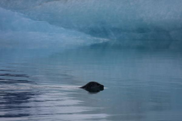Foto van Seal swimming past an iceberg at JökulsárlónJökulsárlón - IJsland