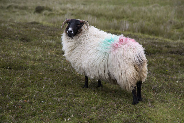 的照片 Horny sheep on the grass of Inishbofin - 爱尔兰