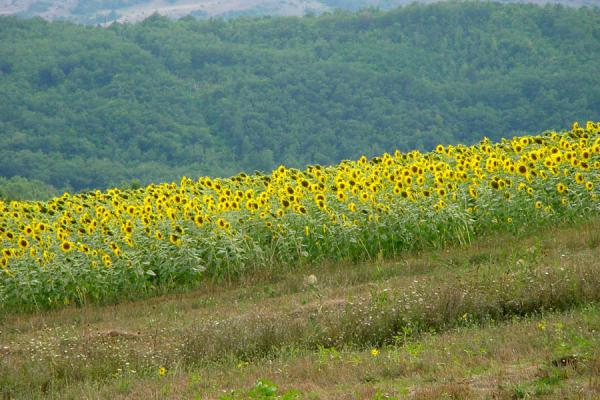 Picture of Abruzzo Landscape (Italy): Sunflower field in Abruzzo