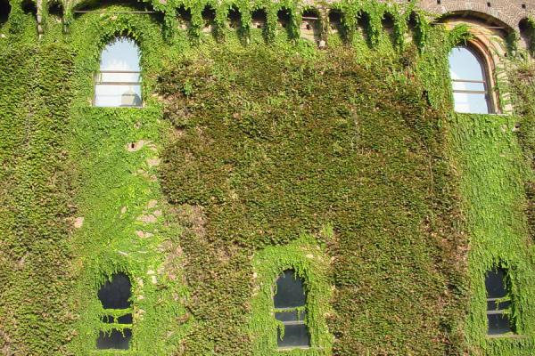 Walls overgrown with climbing plants on Castello Sforzesco | Castello Sforzesco | Italy