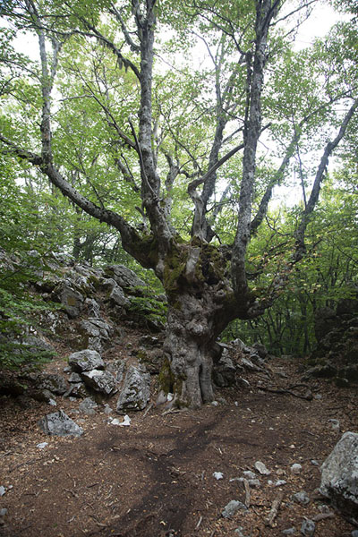 Foto van Old tree on the slopes of the mountainPizzo Carbonara - Italië