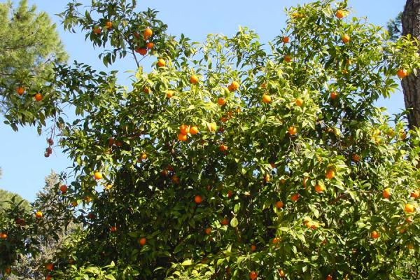 Picture of Santa Sabina church (Italy): Orange trees in Santa Sabina garden, Rome