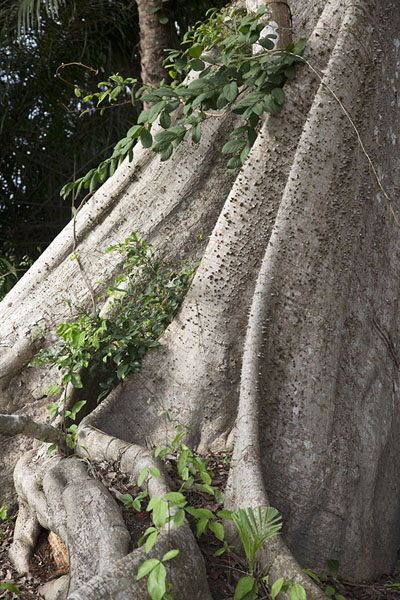 Foto van The awe-inspiring roots of a ceiba tree in Azagny National ParkAzagny National Park - Ivoorkust