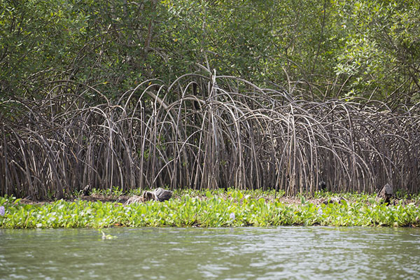 Foto de Shoreline of the canal cutting through Azagny National Park with mangrove trees - Costa Marfil - Africa