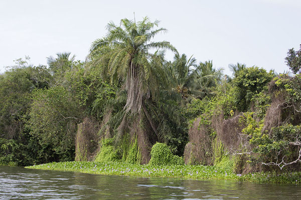 Picture of Shoreline of the Bandama river with lush vegetation