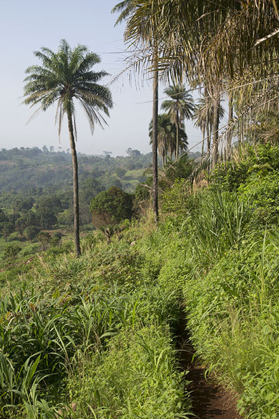 Palm trees next to the trail to Dent de Man | Dent de Man | Ivory Coast