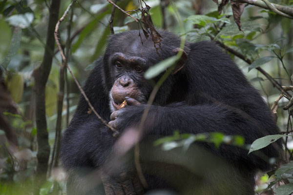 Chimpanzee munching on one of the fruits found in the rainforest | Djiroutou Taï National Park | Ivory Coast