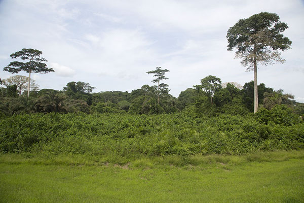 The edge of the rainforest near Djiroutou | Djiroutou Taï National Park | Ivoorkust