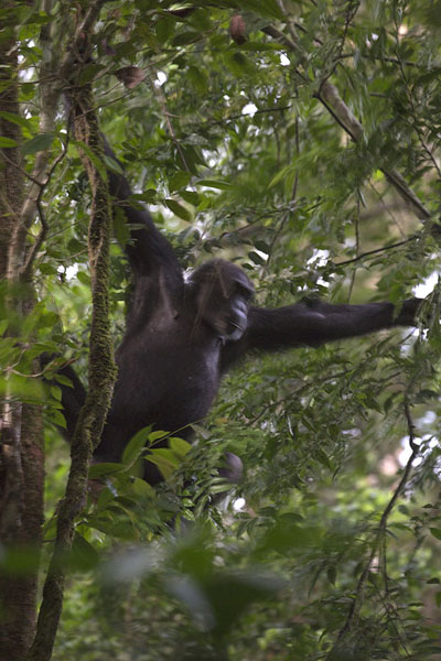 Chimpanzee coming down from a tree in the early morning | Djiroutou Taï National Park | Costa d'Avorio