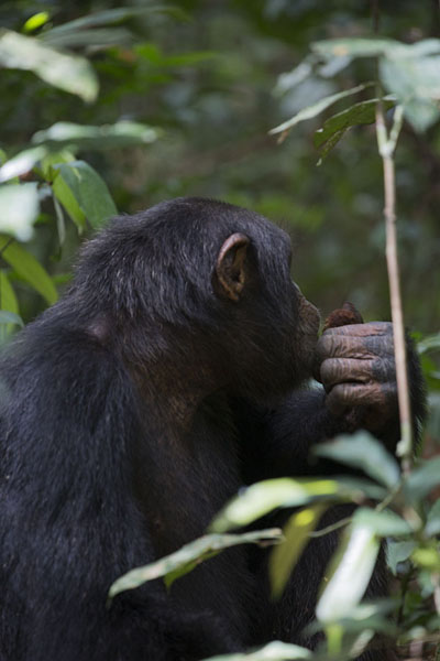 One of the chimpanzees eating on the floor of the rainforest | Djiroutou Taï National Park | Côte d'Ivoire