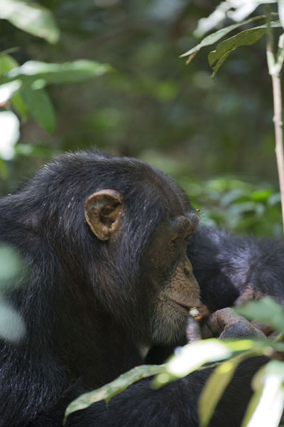 Chimpanzee eating in the rainforest | Djiroutou Taï National Park | Côte d'Ivoire