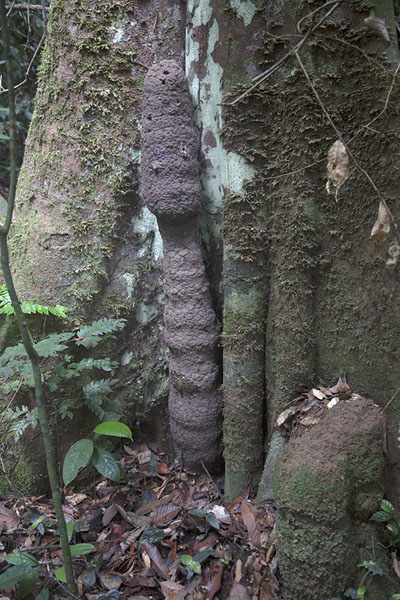 Formation in the forest, created by ants | Djiroutou Taï National Park | Costa d'Avorio