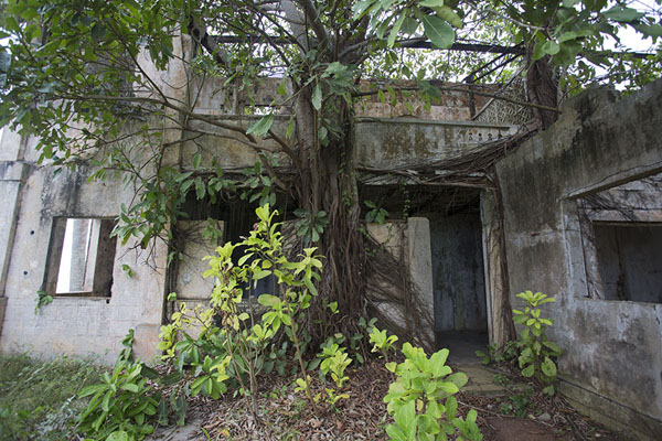 Tree overgrowing the ruins of the governor's house of Sassandra | Sassandra | Costa d'Avorio