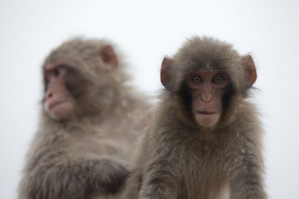 Young monkeys looking down at the visitor of the Arashiyama Monkey Park京都 - 日本