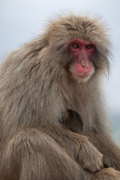 Close-up of macaque in the Arashiyama Monkey Park京都 - 日本