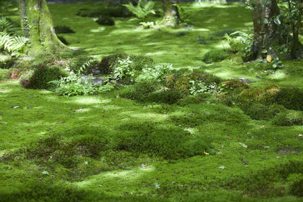 Mosses covering ground at Gio-ji temple | Arashiyama | Japan