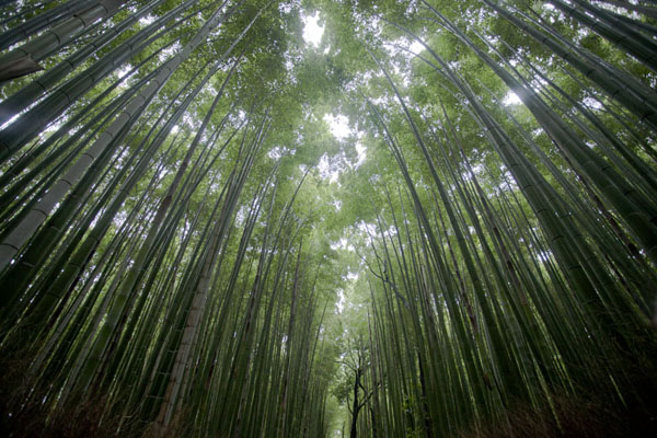 The Bamboo Grove where bamboo towers high above you | Arashiyama | Japón