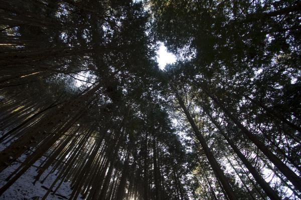 Picture of Trees towering above the Nakasendo