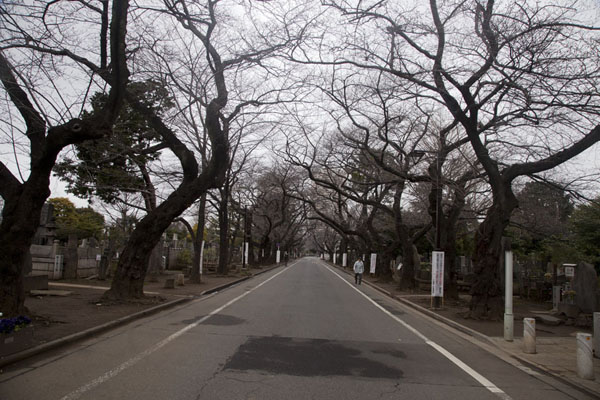 Street lined with trees cutting through Yanaka Cemetery | Nippori | Japan