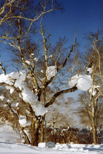 Picture of Niseko Skiing (Japan): Trees with snow in Niseko - Hokkaido