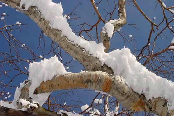 Picture of Niseko Skiing (Japan): Snow on tree at Niseko - Hokkaido