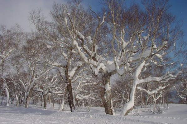Picture of Niseko Skiing (Japan): Snowy trees at Niseko - Hokkaido